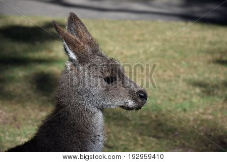 Close-up of a Bennets wallaby face Australian animal marsupial.