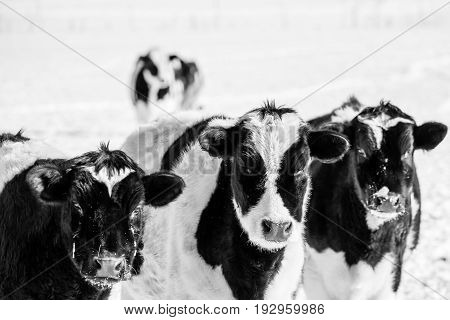 Black and white photo of three (Holstein Friesians) in a Wisconsin winter