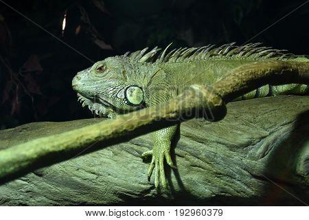 Green iguana - Iguana iguana. Detailed animal portrait. Beauty in nature. Herbivorous species of lizard.