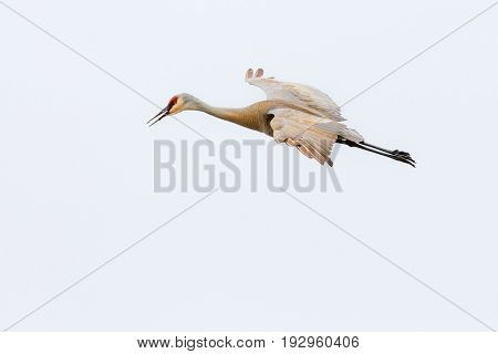 Sandhill crane (Grus canadensis) flying during the spring migration in Wisconsin