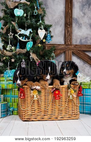 Dog breed Bernese Mountain Dog puppy, Christmas and New Year.