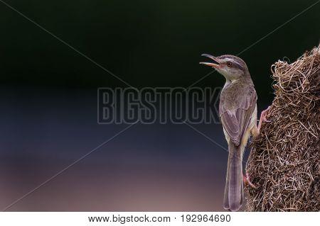 Plain Prinia (prinia Inornata) Bird