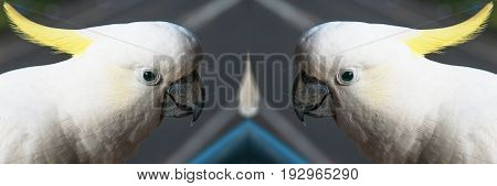 A mirrored image of Australian Sulphur-crested Cockatoos (Cacatua galerita) close-up at Gosford New South Wales Australia.