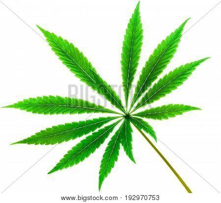Isolated 12 Tip  Marijuana Leaf 02