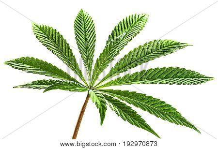 Marijuana nine tip cannabis leaf in color and isolated on white background. Fully illuminated this beautiful green marijuana leaf is pure marijuana love.