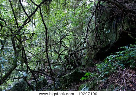 moss and lichen covered plants, rocks and trees in the oxley world heritage rainforest poster