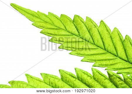 Isolated 5 Tip Marijuana Leaf 05