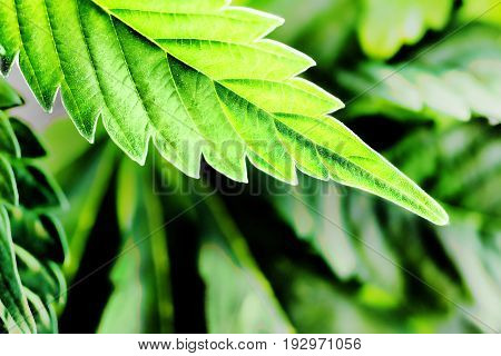 Marijuana leaf hanging into a beautiful ray of light and being illuminated just perfectly to show that classic cannabis leaf texture. A lush and powerful display.