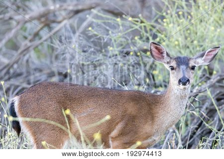 Young Black-tailed Deer (Odocoileus hemionus) Eating. Santa Clara County, California, USA.