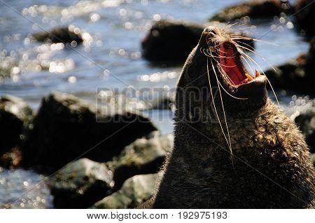A Fur seal at Godthul, South Georgia,  showing it's teeth