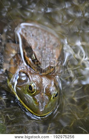vertical shot of two Bufo toads in murky water