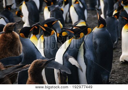 Gold harbour, South Georgia is home to a large population of King Penguins.