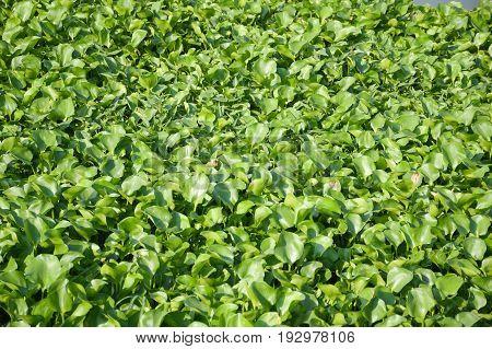 fresh green water hyacinth plant in nature garden