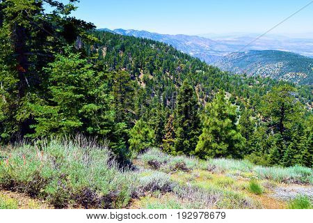 Pine forest amongst Sage Plants on a mountain ridge overlooking the Mojave Desert taken in the San Gabriel Mountains, CA