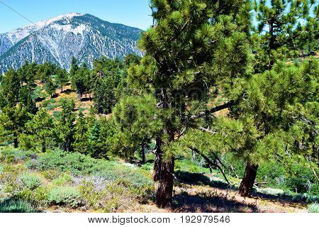 Pine Forest on a mountain ridge with Mt Baldy beyond taken in the San Gabriel Mountains, CA