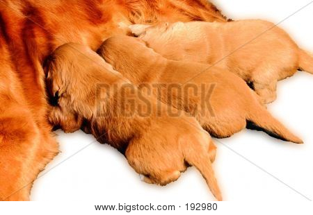 3 Puppies Feeding