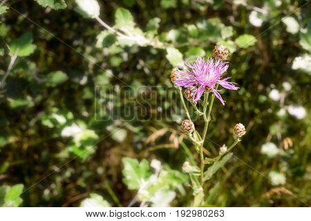 Centaurea Scabiosa Flower.