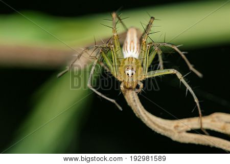 Image of Oxyopidae Spider (Java Lynx Spider / Oxyopes cf. Javanus) on nature background. Insect Animal