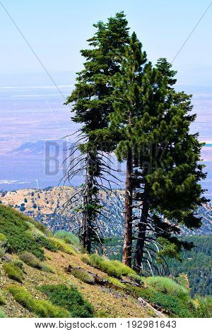 Pine Trees overlooking the Mojave Desert taken at a mountain ridge in the San Gabriel Mountains, CA