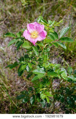 Pink Eglantine Flower