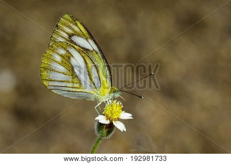 Image of Lesser Gull Butterfly (Cepora nadina nadina) on nature background. Insect Animal