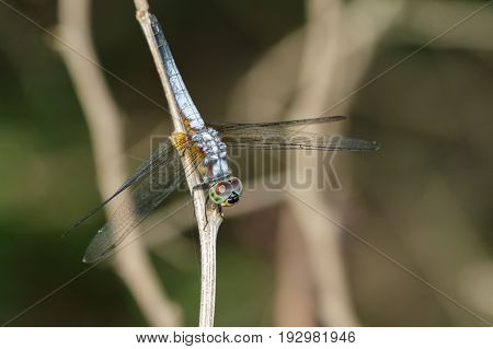 Image of blue dasher butterfly(Brachydiplax chalybea) on green leaves. Insect Animal
