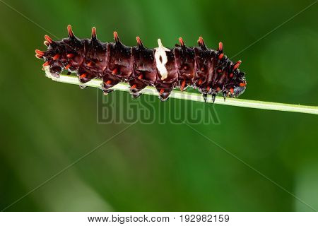 Image of a caterpillar bug on nature background. Insect Animal