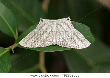 Image of Pointed Flatwing Butterfly(Micronia aculeata) on green leaves. Insect Animal