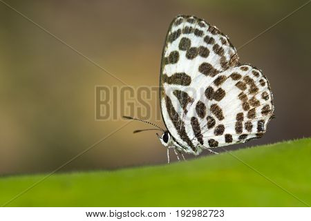 Image of common pierrot butterfly on nature background. Insect Animal (Castalius rosimon rosimon Fabricius 1775)