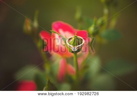 Elegant gold ring on the unblown Bud of a pink rose. Close-up photo with blurred background.