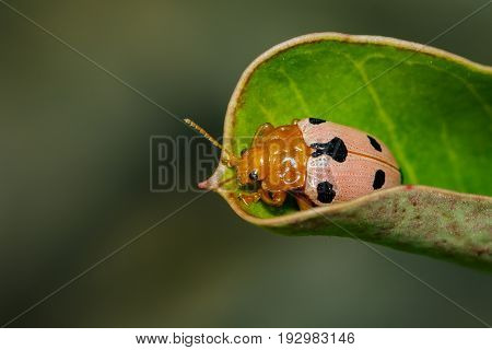 Image of Ladybird beetles or Ladybugs on green leaves. Insect Animal.