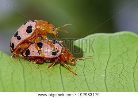 Image of Ladybird beetles or Ladybugs on green leaves. Insect Animal.
