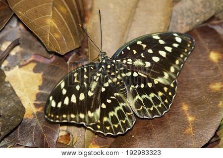 Image of Common Archduke Butterfly(female) (Lexias pardalis dirteana) on nature background. Insect Animal.