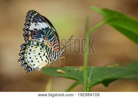 Image of a Plain Tiger Butterfly on green leaves. Insect Animal. (Danaus chrysippus chrysippus Linnaeus 1758)