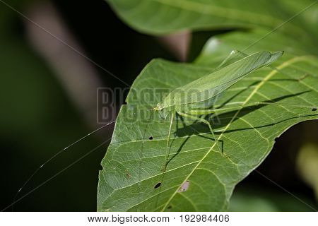 Image of a grasshoppers on green leaves. Insect Animal (Dark Tympanal Katydid. Holochlora nigrotympana)