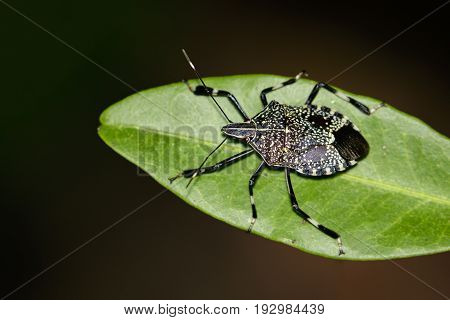 Image of stink bug (Erthesina fullo) on green leaves. Insect Animal