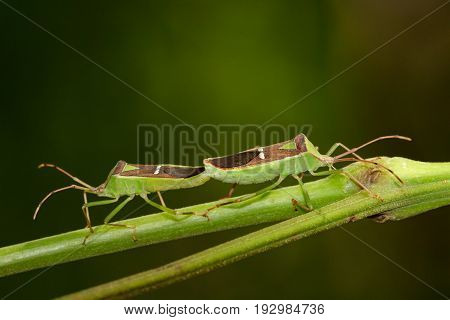 Image of Hemiptera (Green Legume Pod Bug) on nature background. Insect Animal