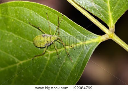 Image of hemiptera bugs on green leaves. Insect Animal