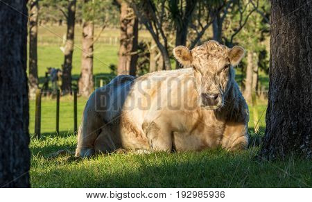 Charolais cattle are breed for their wonderful meat are also quiet and friendly too. And is a good breed to cross breed too.
