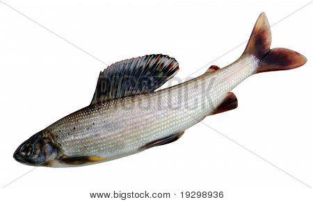 Grayling. Thymallus Arcticus Pallasi - East Siberian Grayling