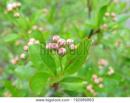 Black chokeberry with flower buds, Aronia melanocarpa