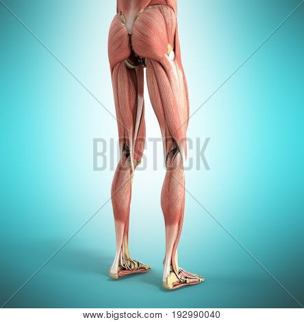 Medical Accurate Illustration Of The Leg Muscles 3D Render On Blue