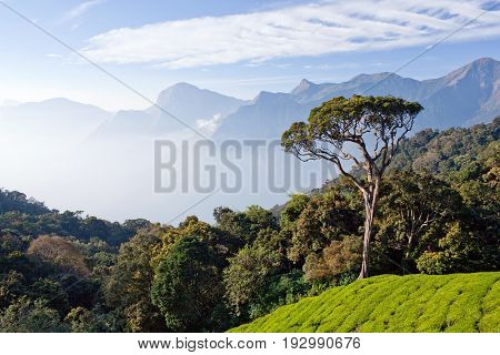 Tea plantations in Munnar, Kerala, South India. It is situated at around 1600 meters above sea level in the Western Ghats range of mountains.