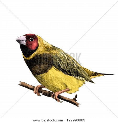 bird of finches sitting on a branch of a tree sketch vector graphics color figure colorful feathers of red yellow