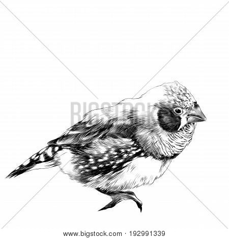 bird amadina sketch vector graphics black and white drawing