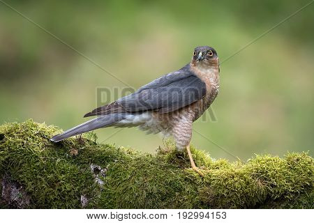 A side portrait of a male sparrowhawk sitting perched on an old log covered in lichen alert and looking forward