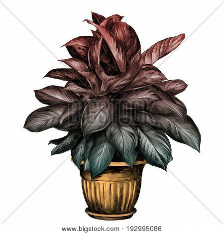 the flower pot aglaonema sketch vector graphics colored drawing gradient turquoise green red and beige pot