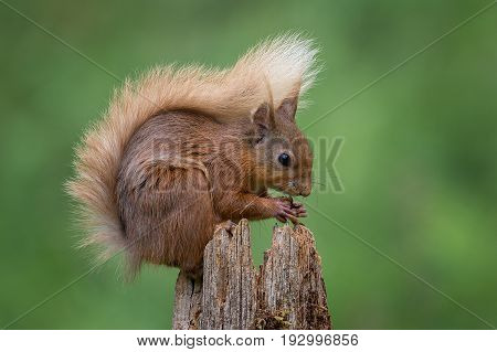 Close up and typical pose of a red squirrel sitting on top of a post eating a hazelnut and displaying its bushy tail