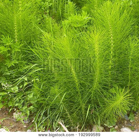Equisetum Arvense. Horsetail. Equisetum. Snake Grass. Puzzlegras