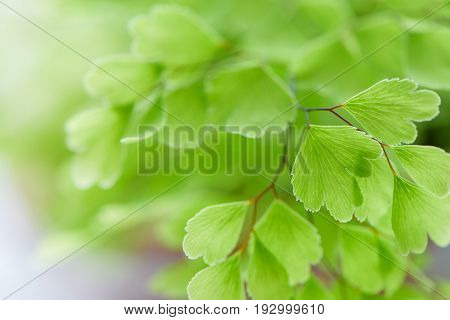 Macro Of Adiantum Philippense Or Maidenhair Fern Growing  In A